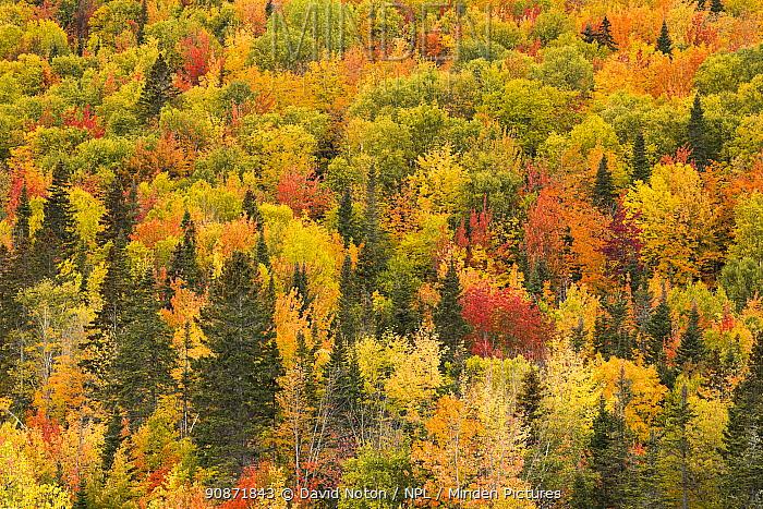 Trees in autumn colours, Rivi?re-au-Renard, Gaspesie, Quebec, Canada. October 2019.
