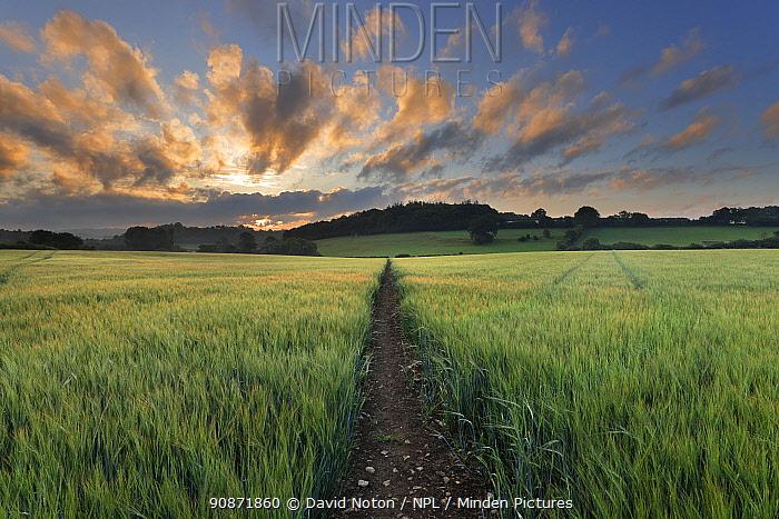 Path through a barley field, Haydon, Dorset, England, UK. July 2020.