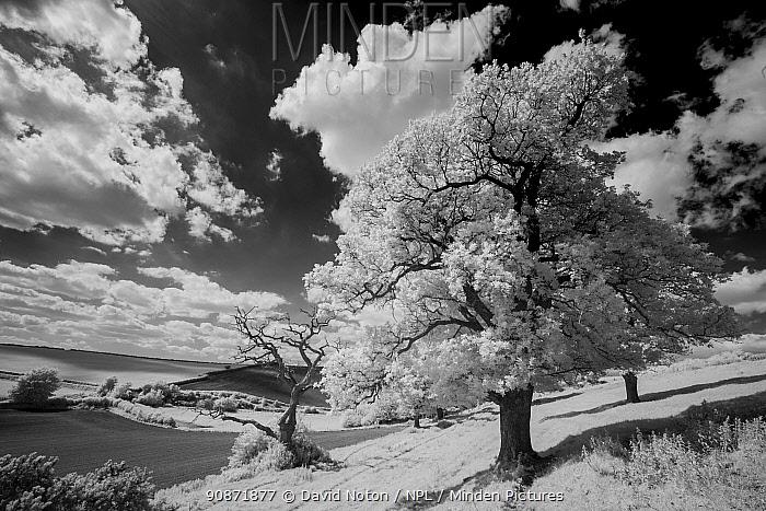 Black and white landscape of trees on Vartenham Hill, Milborne Port, Somerset, England, UK. May 2020.