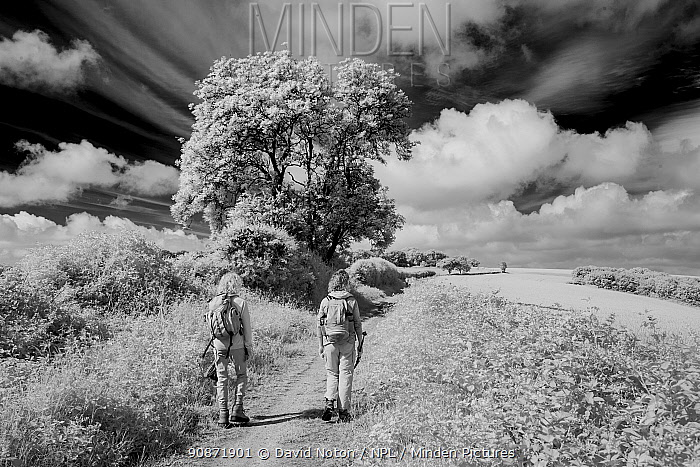 Black and white landscape with walkers on the Wessex Ridgeway, Oakford Hill, Dorset, England, UK. June 2020.