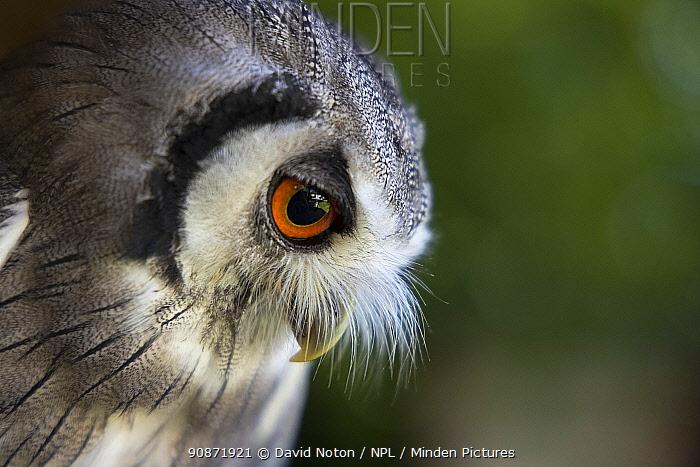 White faced scops owl (Ptilopsis leucotis) captive at Pitcombe Rock Falconry, Somerset, England, UK. July.