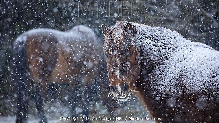 Ponies in the snow in winter, Milborne Port, Somerset, England, UK. March 2018.