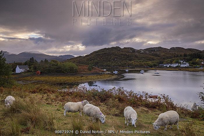 Sheep grazing at Badachro, near Gairloch, Wester Ross, Scotland. October 2020.