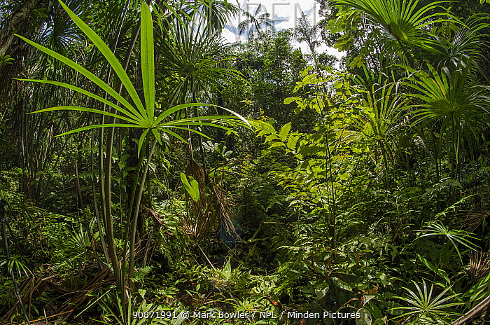 Aguaje palm swamp (Mauritia flexuosa) Maijuna Indigenous Community, Rainforest, Sucusari, Rio Napo, Loreto, Peru. January 2013.