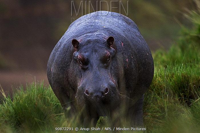 Hippopotamus (Hippopotamus amphibius) walking through grass. Maasai Mara National Reserve, Kenya.
