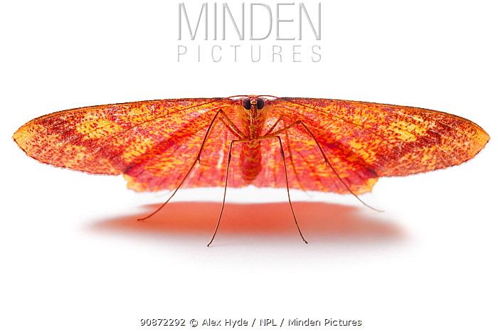 Moth (Eumelea sp) Danum Valley, Sabah, Borneo.