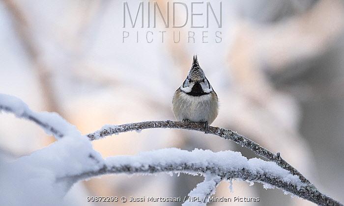Crested tit (Lophophanes cristatus) Ounasvaara, Rovaniemi, Lappi / Lapland, Finland. January
