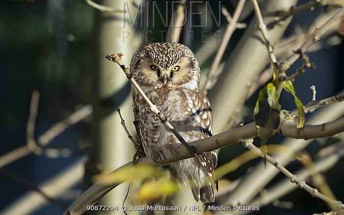 Tengmalm's owl (Aegolius funereus) Uto, Korppoo, Parainen / Lansi-Turunmaa, Lounais-Suomi, Varsinais-Suomi / Southwestern Finland, Finland. February