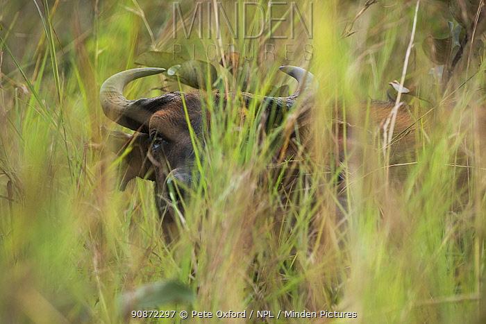 Forest buffalo (Syncerus caffer nanus) amongst vegetation. Lango Bai, Republic of Congo (Congo-Brazzaville), Africa.