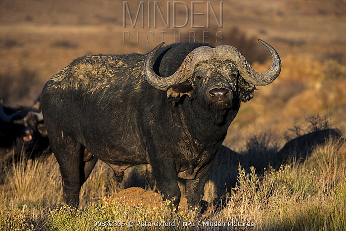 Buffalo (Syncerus caffer) portrait, private game ranch. Great Karoo, South Africa