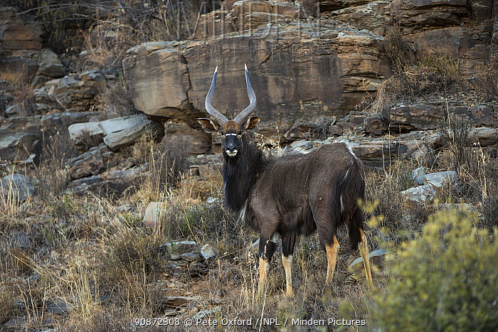 Nyala (Tragelaphus angasil) on private game ranch. Great Karoo, South Africa