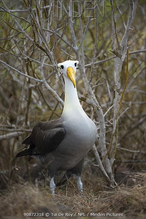 Waved albatross (Phoebastria irrorata) portrait, Galapagos, Ecuador. Critically Endangered species.