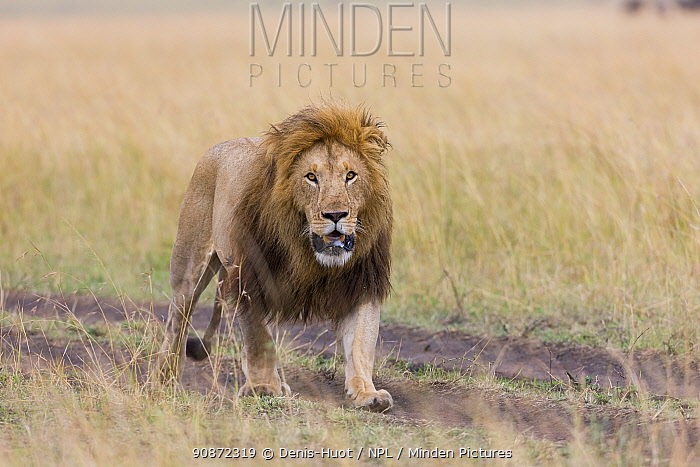 Lion (Panthera leo) male walking. Masai-Mara game reserve, Kenya.