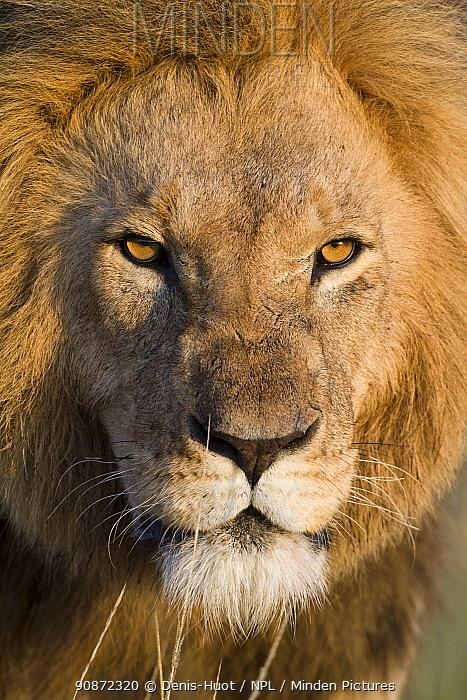 Male Lion (Panthera leo) head portrait, Masai-Mara game reserve, Kenya.
