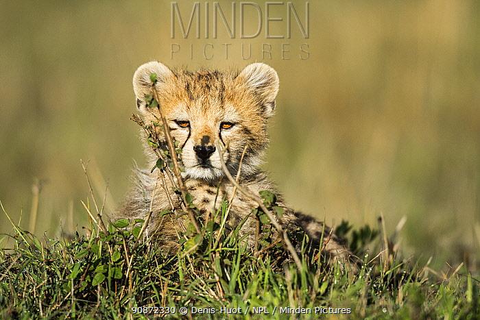 Cheetah (Acinonyx jubatus) 3 month cub, Masai Mara Game Reserve, Kenya, October.