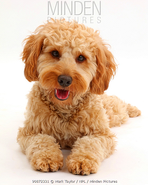 Cavapoo dog, Monty, 10 months, lying with head up.