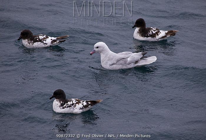 Southern fulmar (Fulmarus glacialoides) swimming with three Cape petrels (Daption capense) Antarctica.