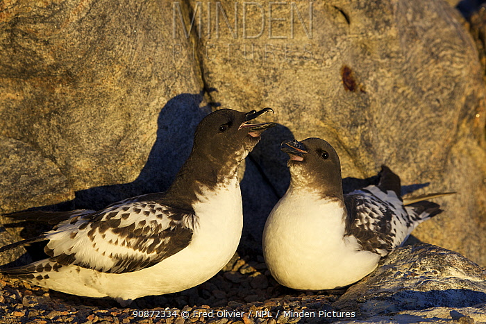 Cape Petrel (Daption capense) pair, one calling, on nest, Antaractica.