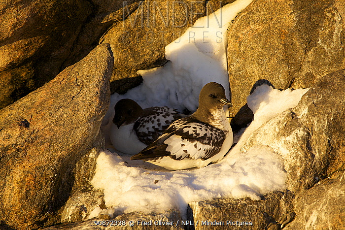 Cape Petrel (Daption capense) on nest, Antarctica.