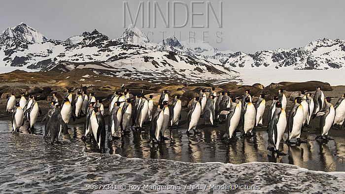 King penguins (Aptenodytes patagonicus) in St Andrews Bay, South Georgia