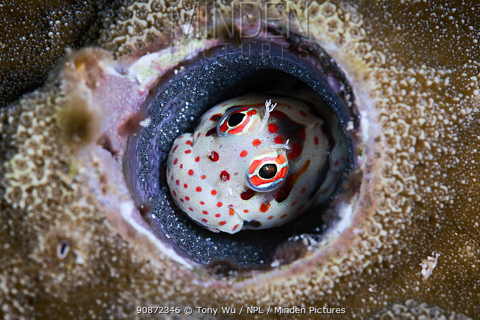 Male red-spotted blenny (Blenniella chrysospilos) watching over a clutch of eggs that are nearly ready to hatch. Kumejima, Okinawa, Japan, Pacific Ocean