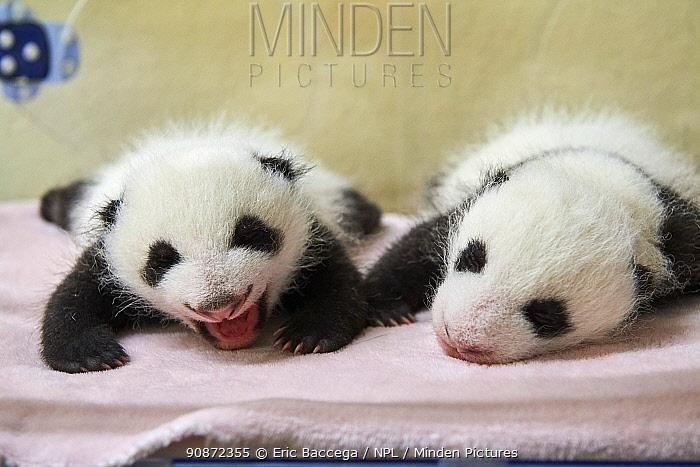 Giant panda (Ailuropoda melanoleuca) female twins aged one month, in incubator, Beauval ZooPark, France 9 September 2021.