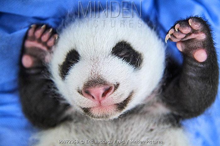 Giant panda (Ailuropoda melanoleuca) female cub aged 1 month, Beauval ZooPark, France 2 August 2021.