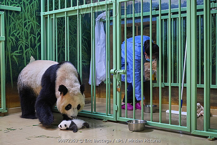 Giant panda (Ailuropoda melanoleuca) mother Huan Huan, watched by keeper, picking up cub, aged one month, Beauval ZooPark, France, 10 September 2021. Sequence 1 of 4