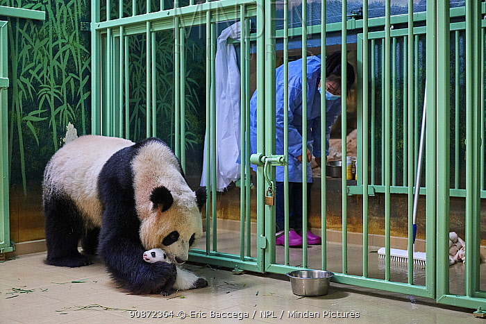Giant panda (Ailuropoda melanoleuca) mother Huan Huan, watched by keeper, picking up cub, aged one month, Beauval ZooPark, France, 10 September 2021. Sequence 2 of 4