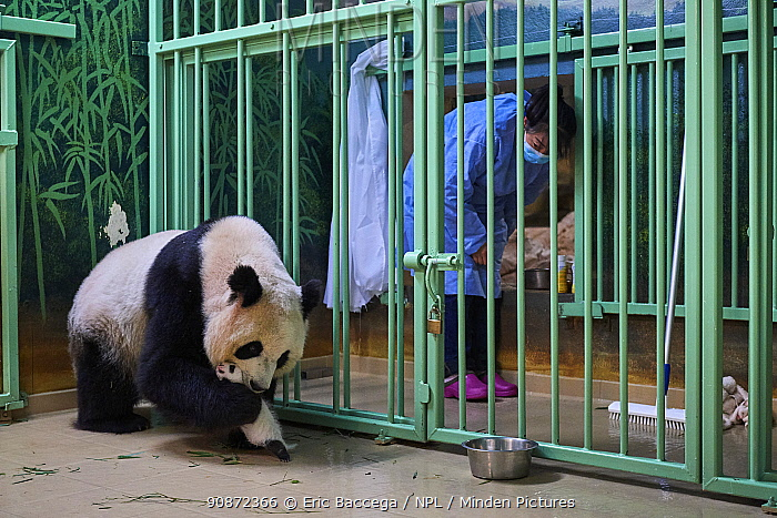 Giant panda (Ailuropoda melanoleuca) mother Huan Huan, picking up cub, aged one month, Beauval ZooPark, France, 10 September 2021. Sequence 4 of 4