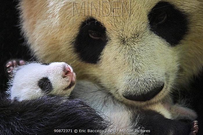 Giant panda (Ailuropoda melanoleuca) female, Huan Huan, holding cub aged one month, Beauval ZooPark, France. 9 September 2021.