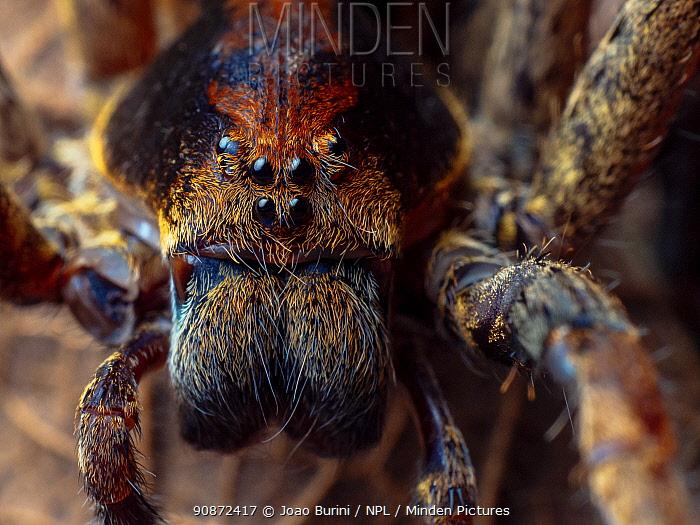 Ornate wandering spider (Ctenus ornatus) portrait, Southeastern Atlantic Forest, Mantiqueira Mountain Range, Sao Francisco Xavier, Sao Paulo, Brazil.