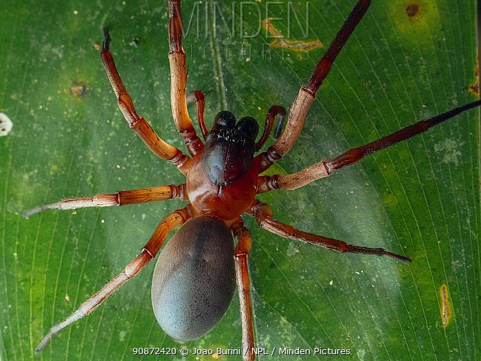 Red sac spider (Paradiestus sp.) resting on leaf, Southeastern Atlantic Forest, Mantiqueira Mountain Range, Sao Francisco Xavier Sao Paolo, Brazil.