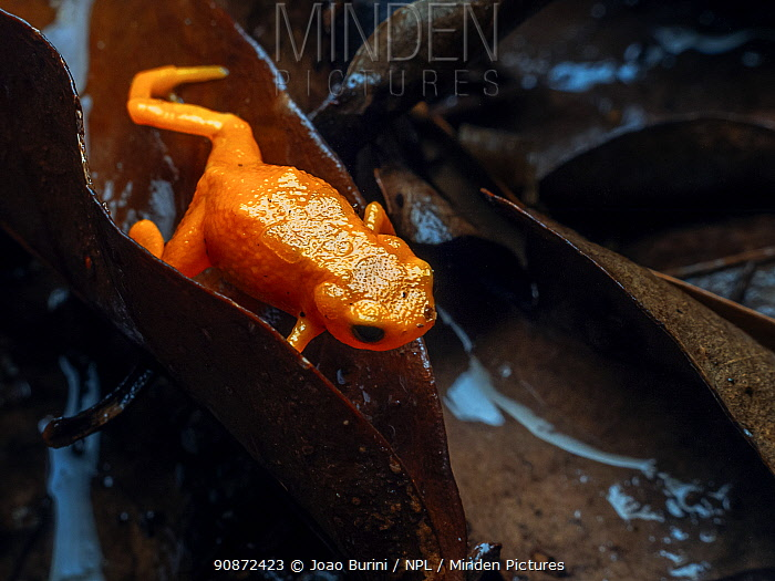 Pumpkin toadlet (Brachycephalus sp.) crawling through leaf litter, Southeastern Atlantic Forest, Mantiqueira Mountain Range, Sao Francisco Xavier, Sao Paulo, Brazil.
