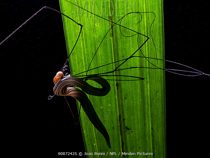 Flatworm (Geoplaninae) preying on Harvestman (Gagrellinae) Southeastern Atlantic Forest, Mantiqueira Mountain Range, Sao Francisco Xavier, Sao Paulo, Brazil.