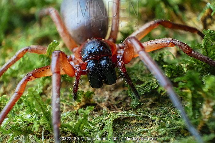 Sac spider (Corinnidae) Southeastern Atlantic Forest, Mantiqueira Mountain Range, Sao Francisco Xavier, Sao Paulo, Brazil.