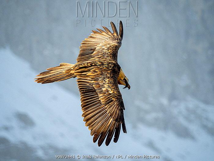 Bearded vulture (Gypaetus barbatus) flying, Ordesa National Park, Pyrenees, Spain.