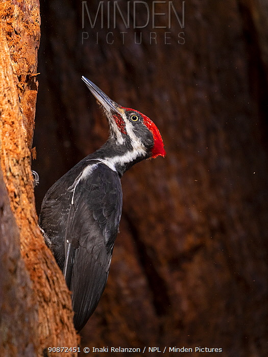 Pileated woodpecker (Dryocopus pileatus) feeding on a Sequoia, Sequoia National Park, California, USA.