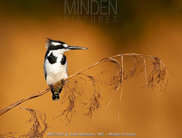 Pied kingfisher (Ceryle rudis), Lake Bunyony, Uganda, Africa.