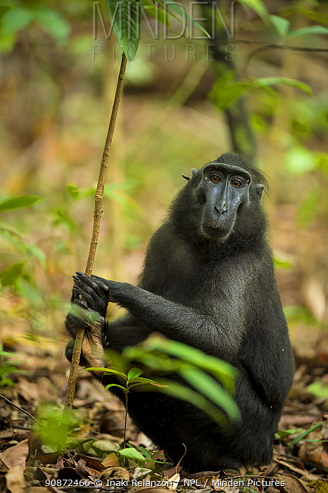 Black crested monkey or macaque (Macaca nigra). Sulawesi, Indonesia. Criticallly endangered.