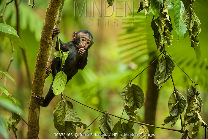 Black crested monkey or macaque (Macaca nigra) infant in tree, Sulawesi, Indonesia. Critically endangered.