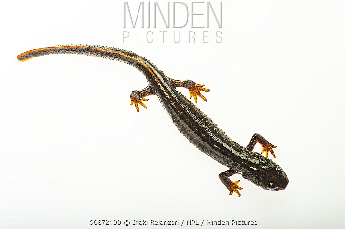 Montseny brook newt (Calotriton arnoldi) on white background. Critically endangered species, first described, 2005.