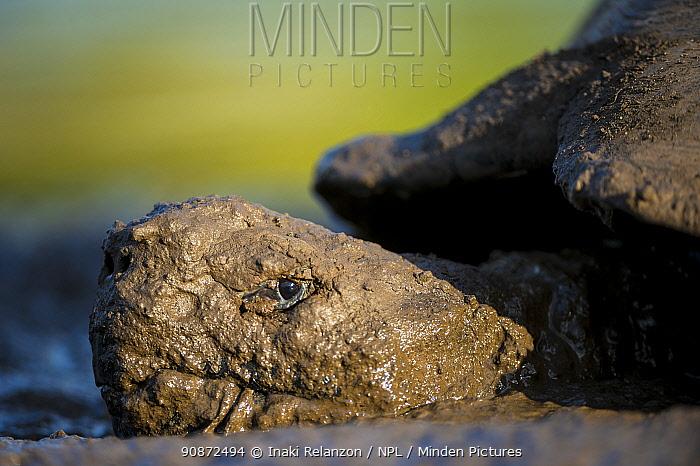 Santa Cruz Galapagos giant turtle (Chelonoidis porteri) taking a mud bath, a small lagoon. Santa Cruz, Galapagos.