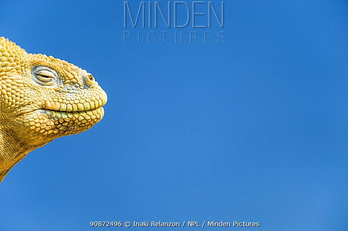 Santa Fe land Iguana (Conolophus pallidus) portrait, endemic to Santa Fe Island, Galapagos Islands.