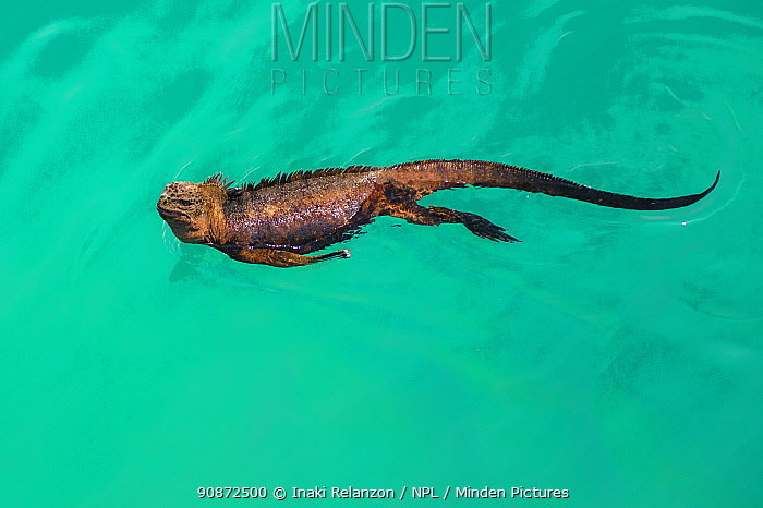 Marine iguana (Amblyrhynchus cristatus) swimming, Puerto Ayora, Santa Cruz Island, Galapagos Islands.