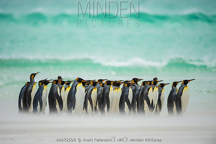 King penguins (Aptenodytes patagonicus) group walking along beach in front of wave, Falkland Islands.
