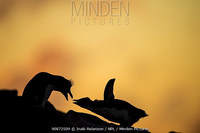 Southern rockhopper penguin, (Eudyptes chrysocome chrysocome) pair courtship behaviour silhouetted, Falkland Islands.
