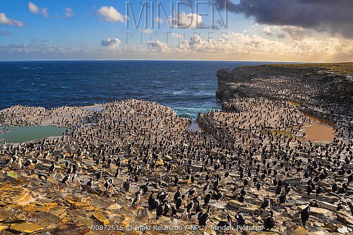 Imperial Shag (Phalacrocorax atriceps albiventer) colony, Falkland Islands.