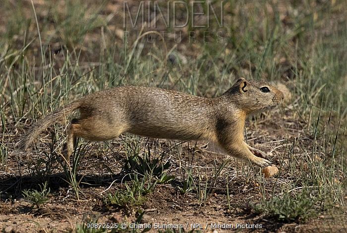 Wyoming ground squirrel (Urocitellus elegans) running across grass covered prairie, North Park, High Country, Colorado, USA.