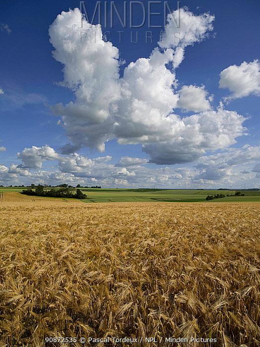 Cumulus cloud above field of ripe Barley near harvest, Picardy, France, June 2020.